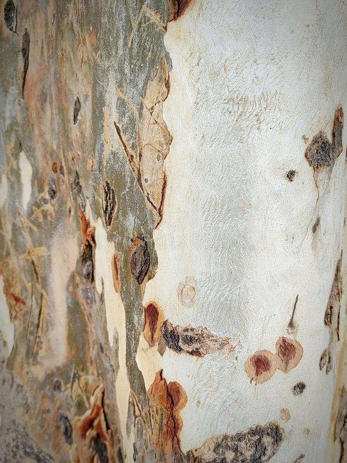 Bark of an old eucalyptus tree contrasted colours. Bark old eucalyptus tree contrasted colours  spectacles  covered  nature royalty free stock images