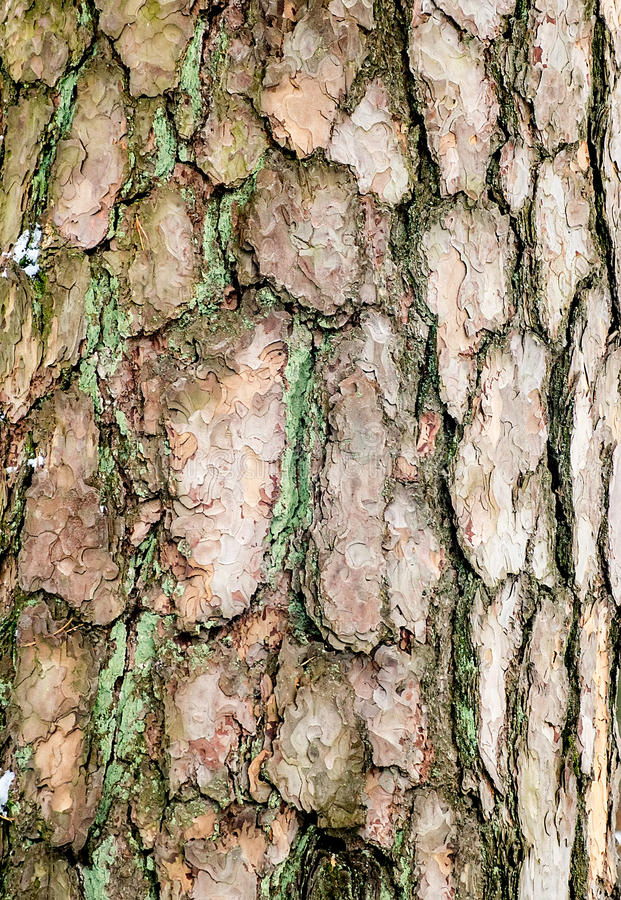 Bark of old pine tree close-up stock photography