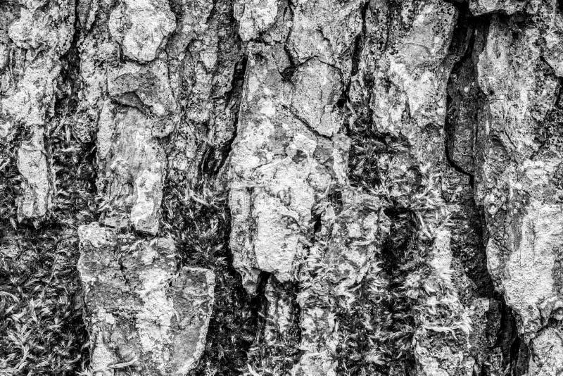 Bark Of Old Tree Royalty Free Stock Photos