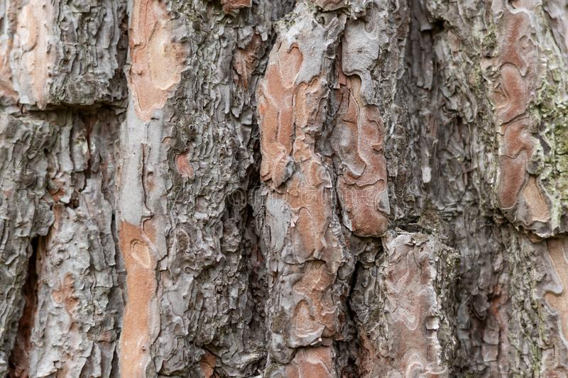 Bark of an old tree. Background texture. Bark of an old tree.Filled frame royalty free stock photography