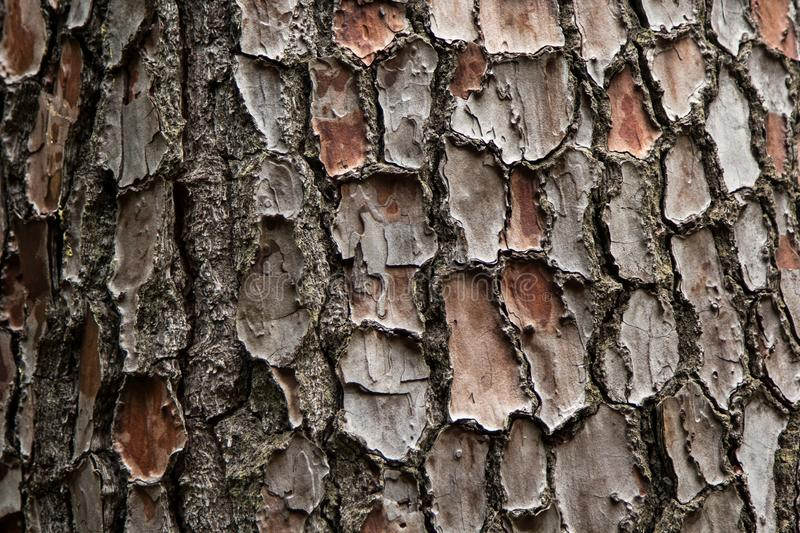The bark of an old tree. In the arbore of the city of Bai in Georgia royalty free stock photo