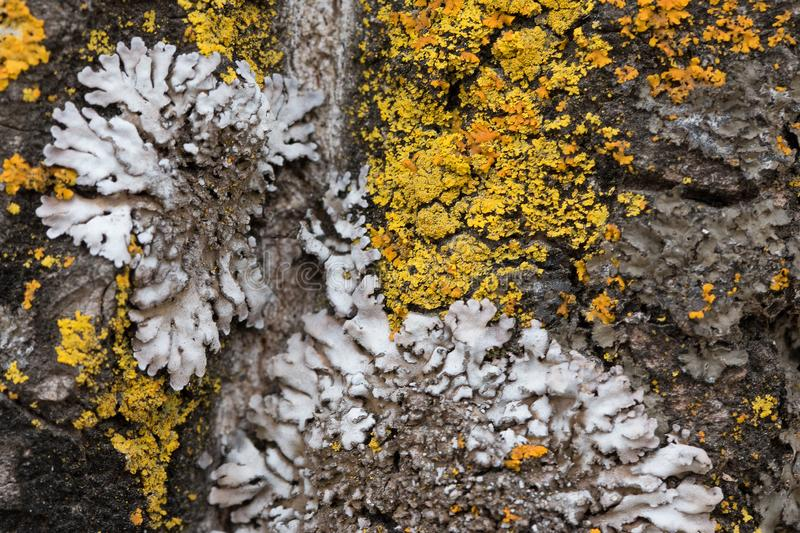 The bark of an old tree covered with a moss and lichens as structure Colors of the nature. Close up. Macro. The bark of an old tree covered with a moss and stock photo