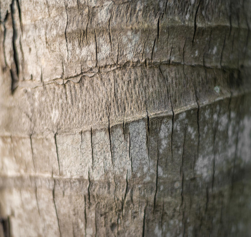 Bark of palm tree. Wood textured background. royalty free stock photography