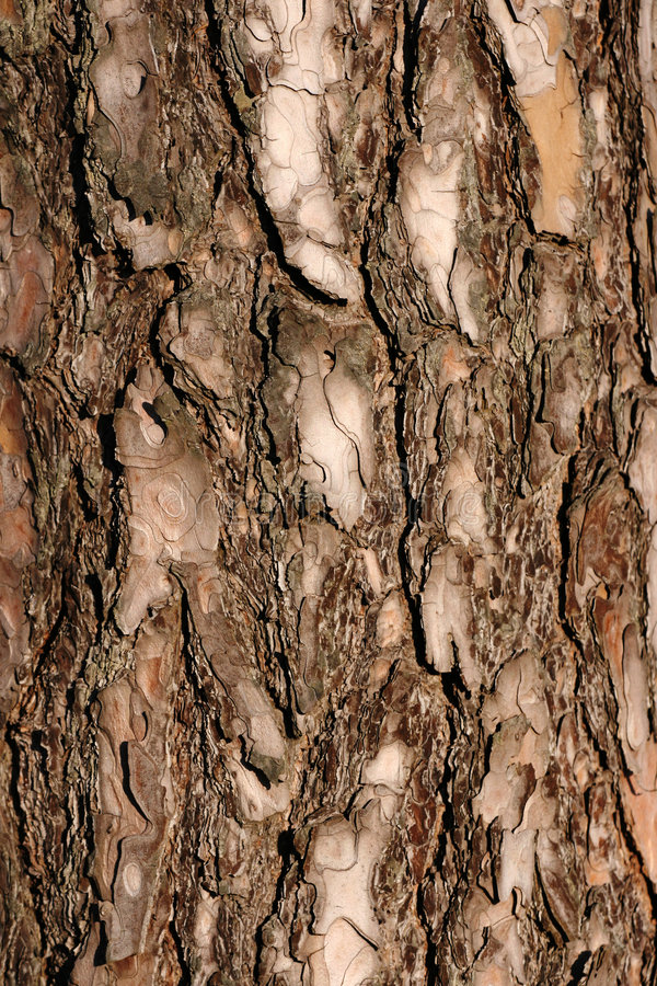 Download The bark of a pine stock image. Image of hardwood, light - 4307107