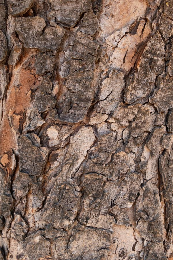 The bark of pine. Brown background of natural wood. The texture of the bark of a tree. Creative vintage background royalty free stock image