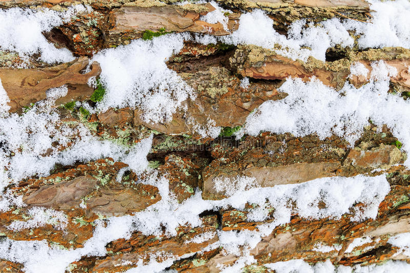 Bark of pine tree covered with snow texture. stock photo