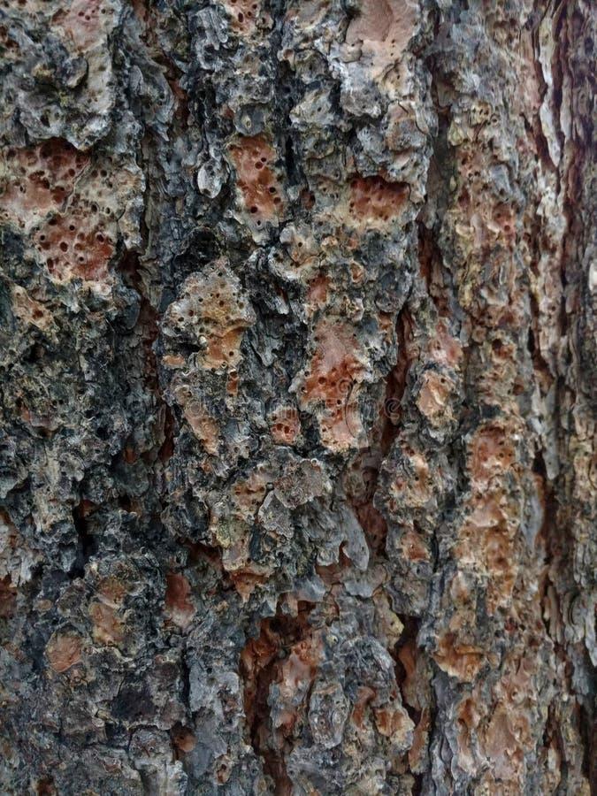 Bark of pine tree - texture stock photography