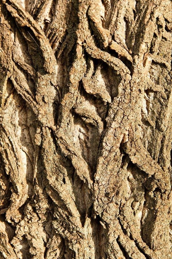 Bark of a poplar tree royalty free stock images