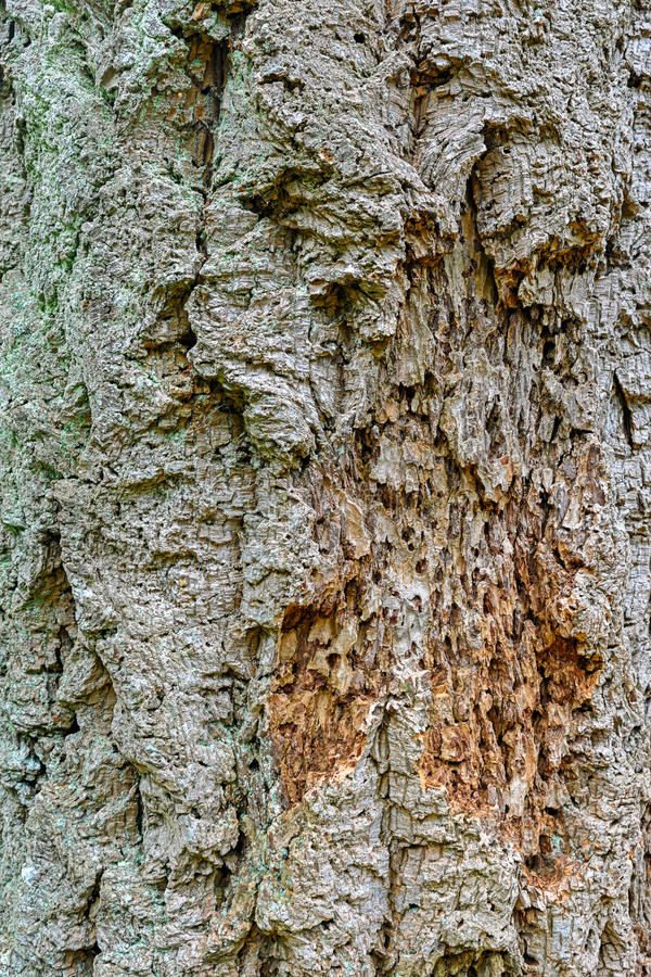 Bark of Pseudotsuga menziesii, commonly known as Douglas-fir. Close-up view to the texture an evergreen conifer species bark Pseudotsuga menziesii, commonly royalty free stock image
