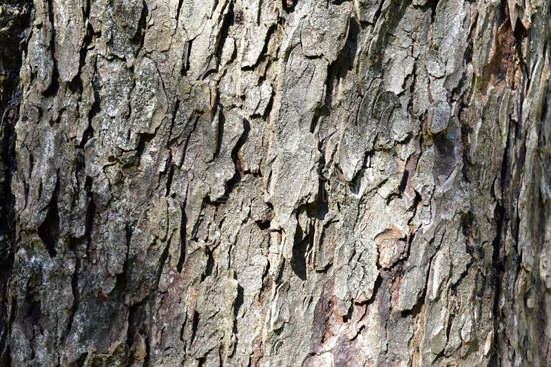 Bark rugged background, pine tree closeup. Pine tree rough texture with sun light. Bark rought texture. Pine tree closeup. Pine tree background. Sun light royalty free stock photography