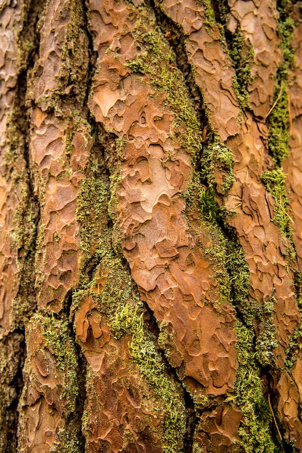 Bark of a Scots pine tree. In Poland royalty free stock photos