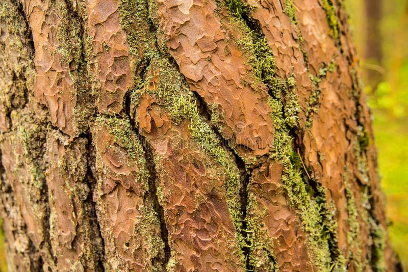 Bark of a Scots pine tree. In Poland royalty free stock photography