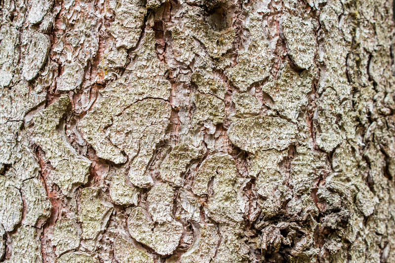 The bark of a spruce with moss royalty free stock photography