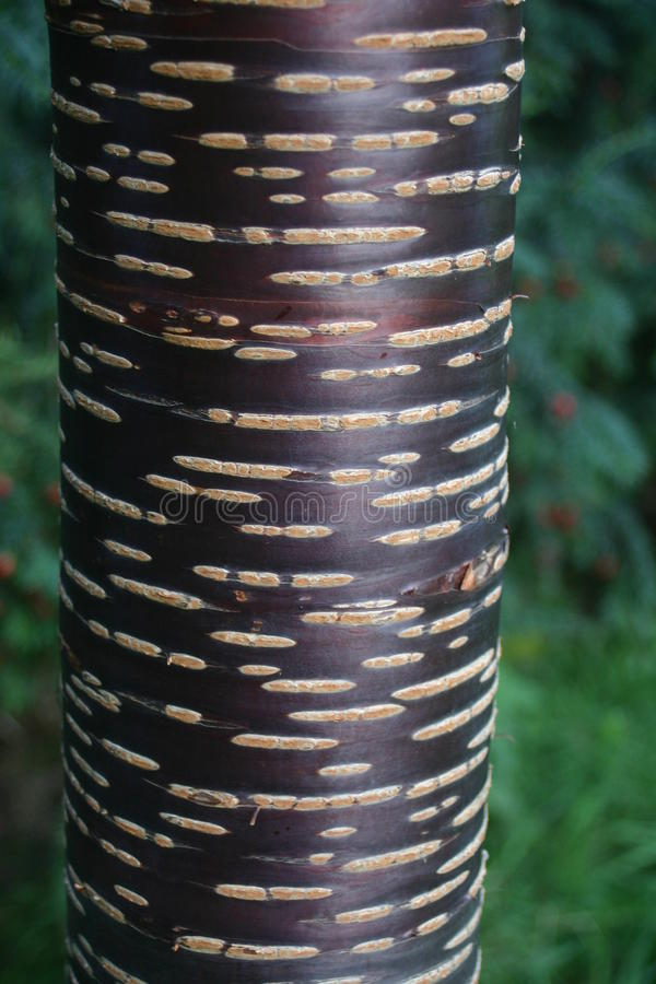 Red cherry tree bark. Attractive red bark of the Himalayan cherry (Prunus rufa) tree with shrubs as background stock photos
