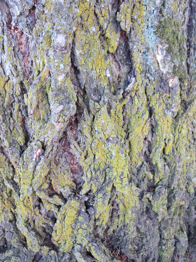 Bark of a tree covered with moss royalty free stock photo