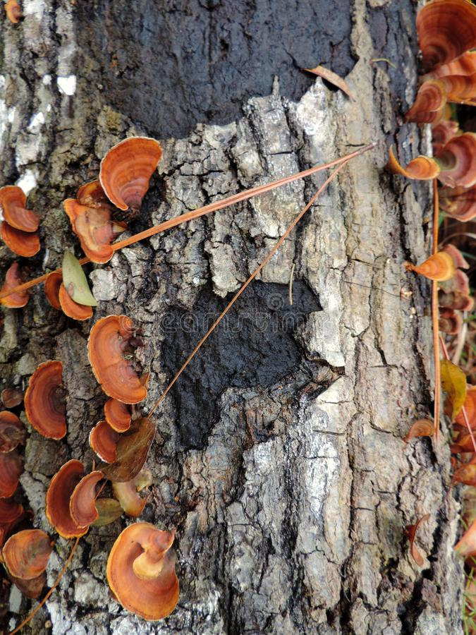 Bark of a Tree with Mushrooms - Bulow Plantation Ruins Historic State Park near Daytona - Monument. Scenic Walk in the area of the Bulow Plantation Ruins stock photos