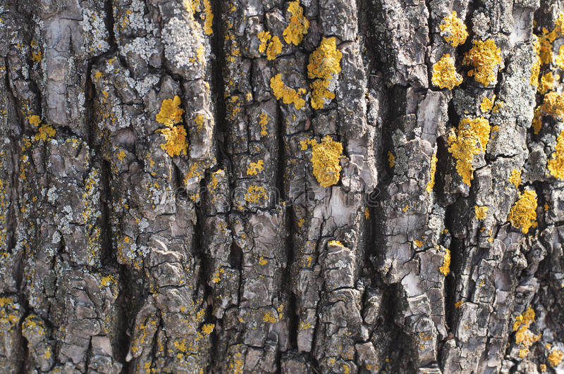 Bark tree nature closeup concept - bark of wood with lichen as a royalty free stock images