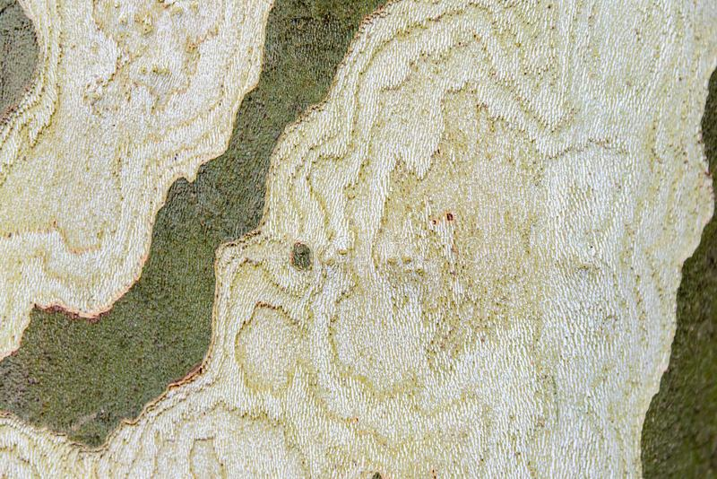Bark of the tree is platan with beautiful texture royalty free stock photo