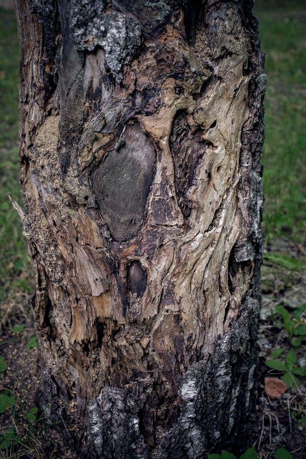 Bark of Tree royalty free stock photos