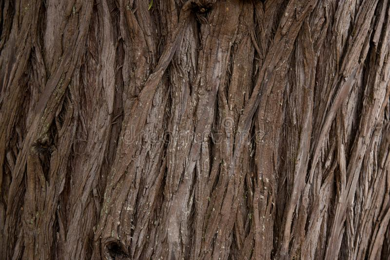 Bark Tree texture full frame in nature. Close Up of Redwood Bark stock image