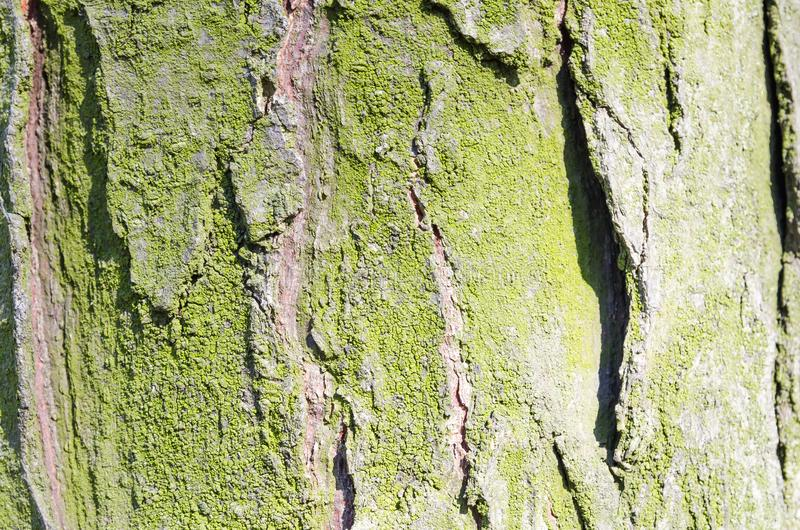 Moss.Tree. Wooden bark. Reliefs of the tree. Nature. Natural reliefs. Wood texture. Natural textures. Background. Wooden backgrou. Bark. Tree. Wooden bark royalty free stock photo