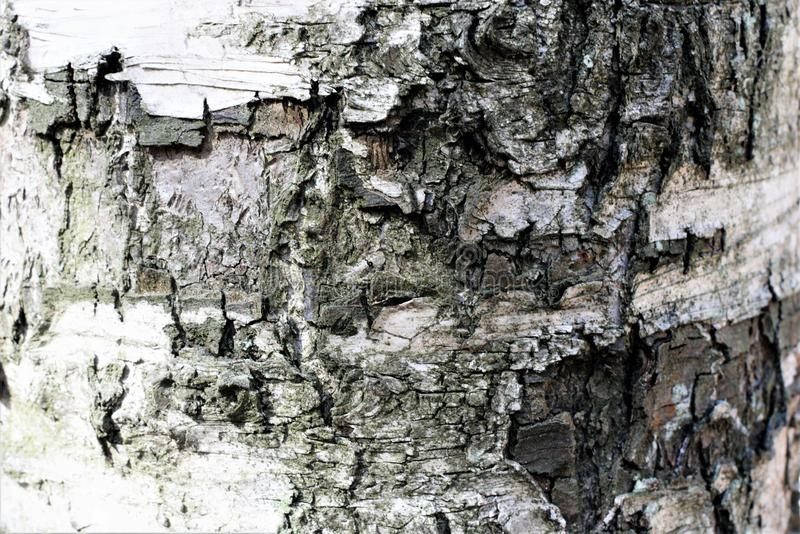 Bark on the trunk of an old birch closeup. stock photography