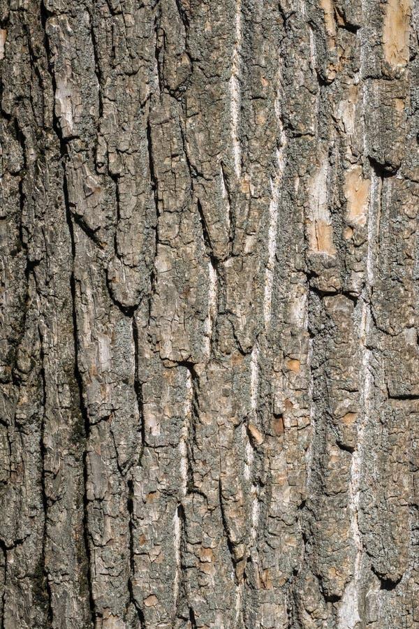 Bark of the trunk of Poplar stock photo