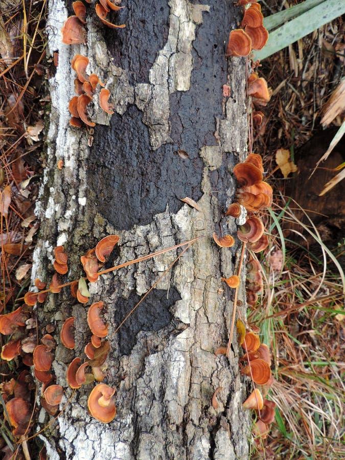 Bark van een boom met paddenstoelen - Bulow Plantation Ruins Historic Park near Daytona - Monument stock afbeelding