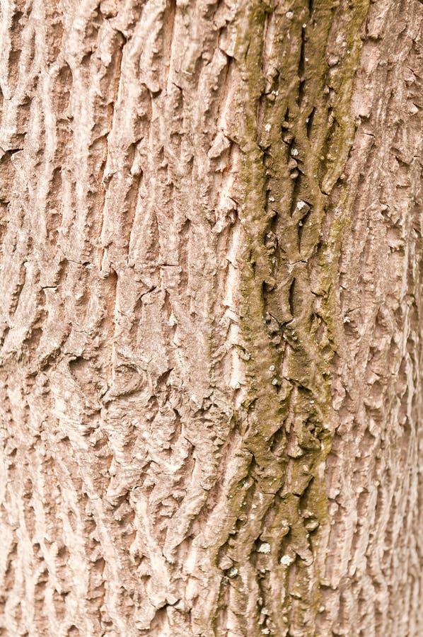 Bark of walnut tree stock photo
