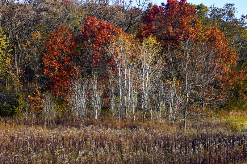 White Birch Trees in Fall. The bark of the white Birch trees stands out amidst the autumn colors in Wisconsin stock images