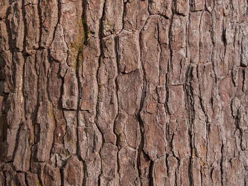 The bark of the wood royalty free stock photo