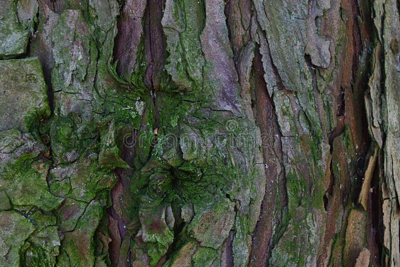 Bark wood texture of coniferous evergreen tree incense cedar Calocedrus Decurrens slightly covered with moss royalty free stock photography