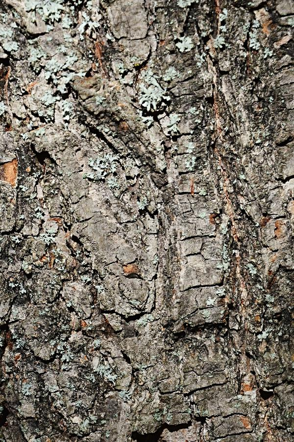 Bark wood texture of small-leaved lime tree Tilia Cordata royalty free stock photo