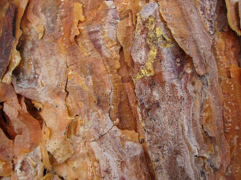 The bark of young pines is beautiful with small droplets of resin royalty free stock image