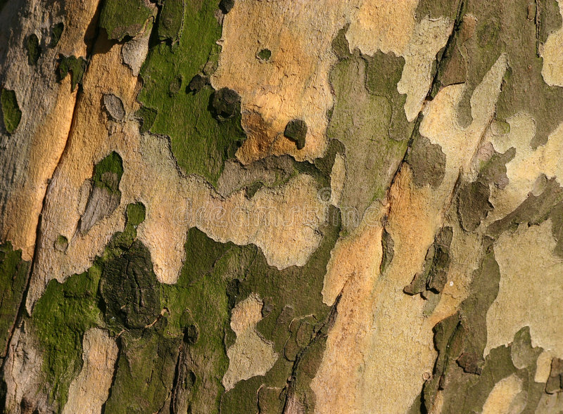 bark2美国梧桐 免版税库存照片