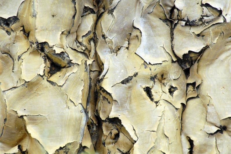 Barke de un árbol del estremecimiento en Namibia fotografía de archivo libre de regalías