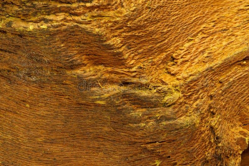 Barke der indischen Berberitzenbeere (Berberis aristata) stockbilder