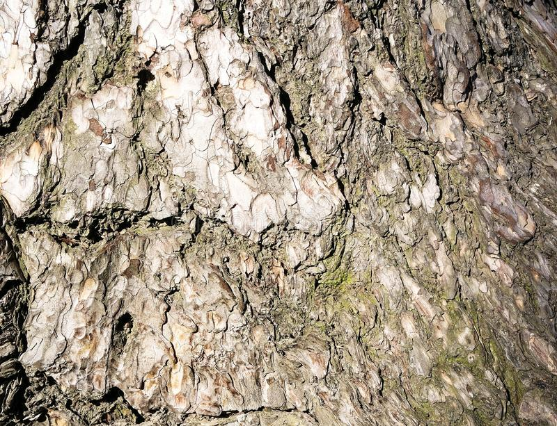 barkeeper Предпосылка коры дерева стоковое изображение rf