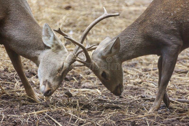 Barken des Hirsches und Kämpfen miteinander lizenzfreie stockfotos