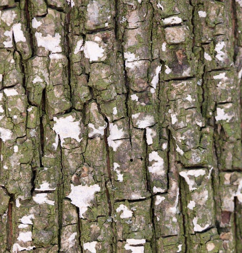 Barkenbeschaffenheit des alten Baums stockfoto