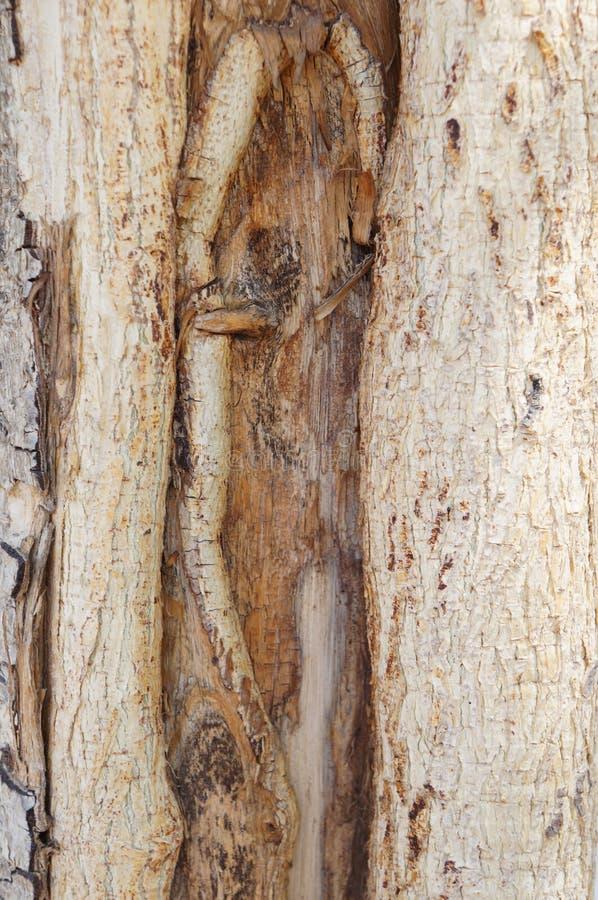 Barkentyna akacjowy drzewo obrazy stock