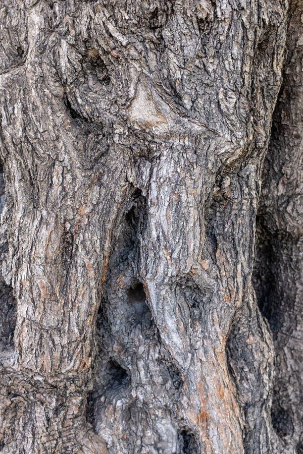 Barkentyna antyczny drzewo oliwne zdjęcia royalty free