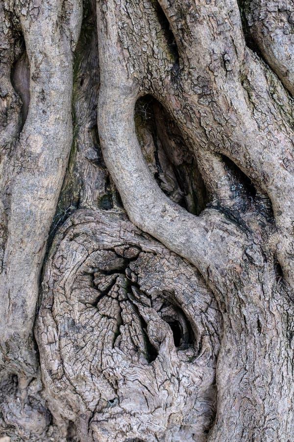 Barkentyna antyczny drzewo oliwne obraz stock