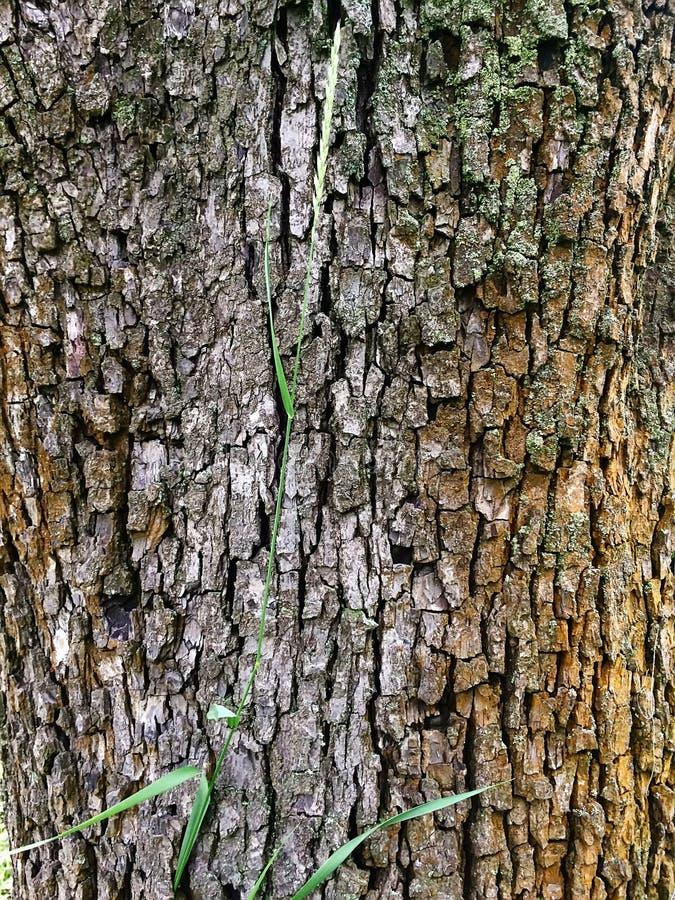 Barkentyna bonkrety drzewo zdjęcie stock