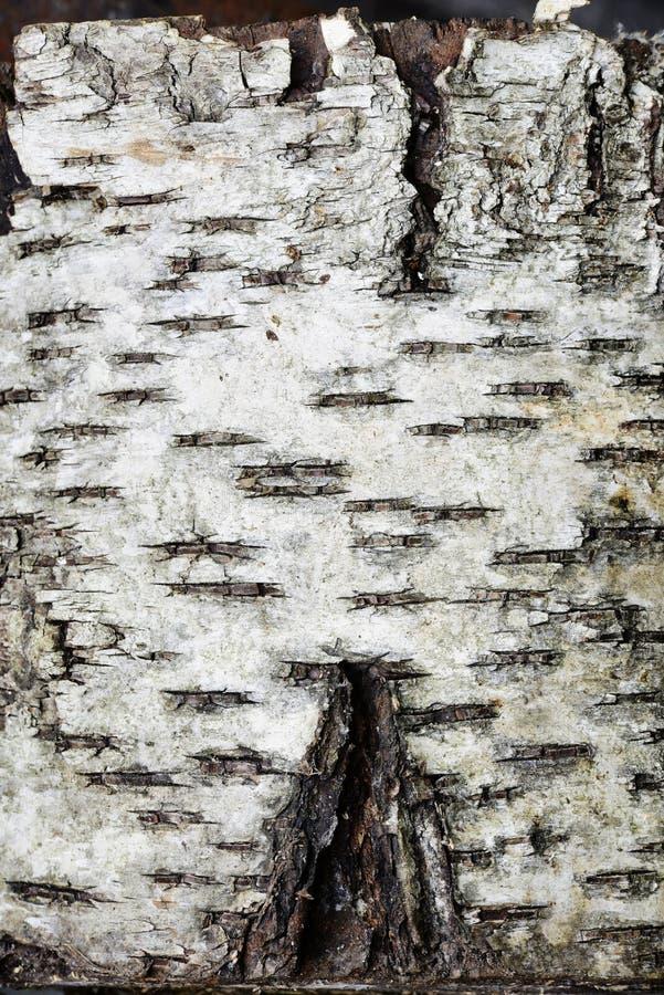 Barkentyna brzozy drzewo obraz stock
