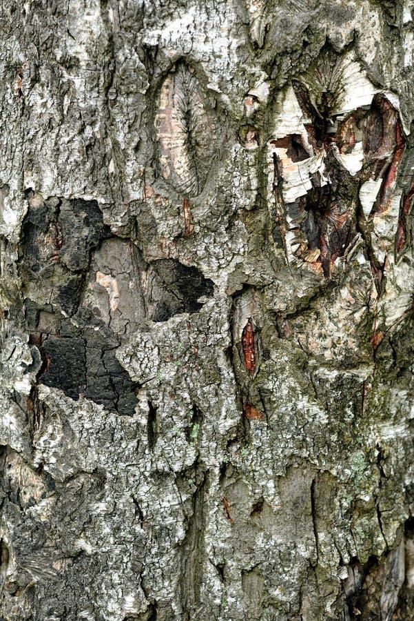 Barkentyna brzozy drzewo fotografia royalty free