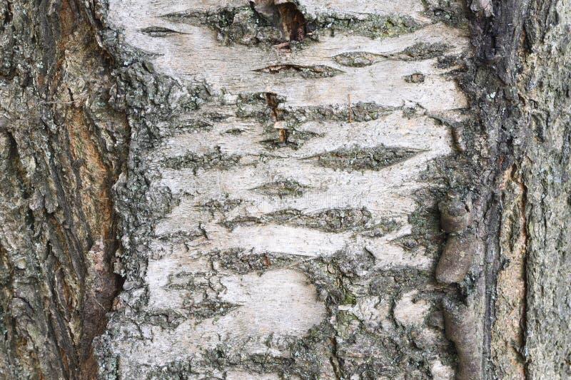 Barkentyna czereśniowy drzewo zdjęcie stock