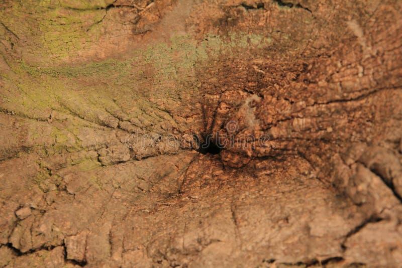 Barkentyna dębowy drzewo zdjęcia stock