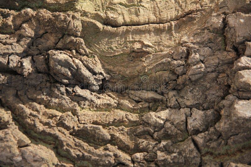 Barkentyna dębowy drzewo obrazy royalty free