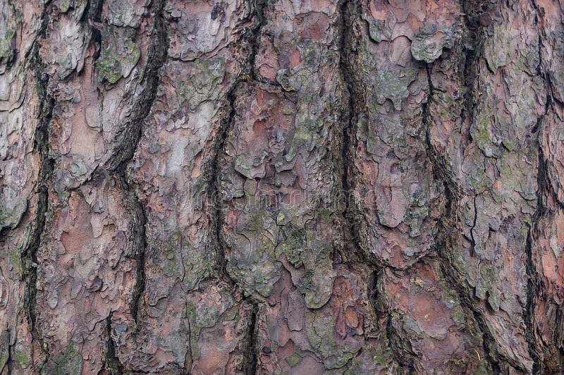 Barkentyna drzewo cedr sosna iglasty obraz royalty free
